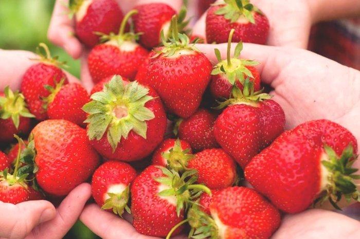 Korea Tour_Strawberry Picking
